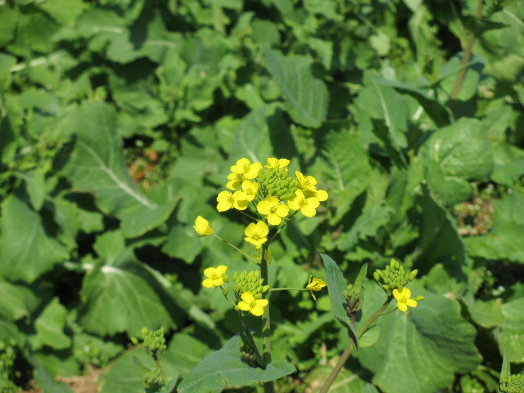 のこのしまアイランドパークの菜の花