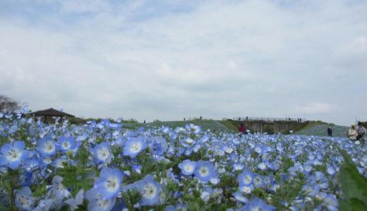 海の中道海浜公園に春の花、ネモフィラを見に行って来た!花の丘は青い花でいっぱいに!