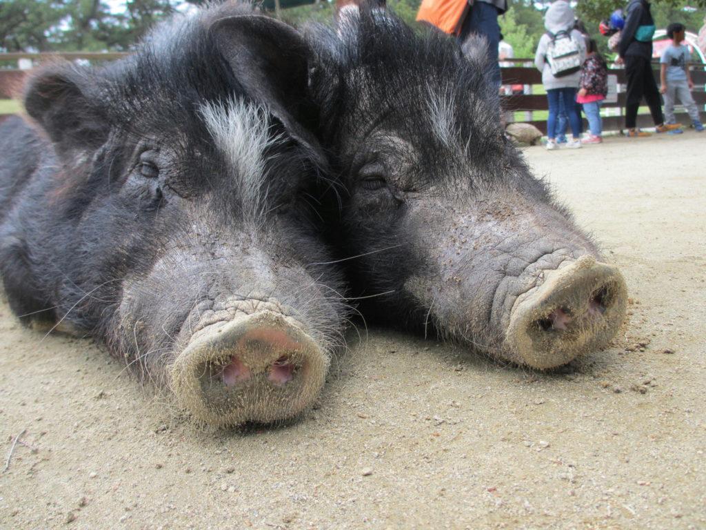 仲良しな豚