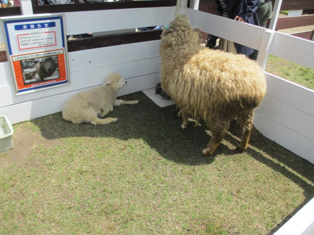 羊のお母さんと子ども
